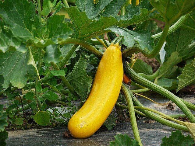 Do Zucchini Plants Like Coffee Grounds