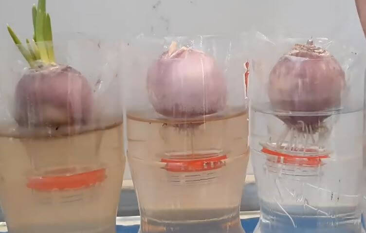 How To Grow Onions In A Plastic Bottle Step By Step