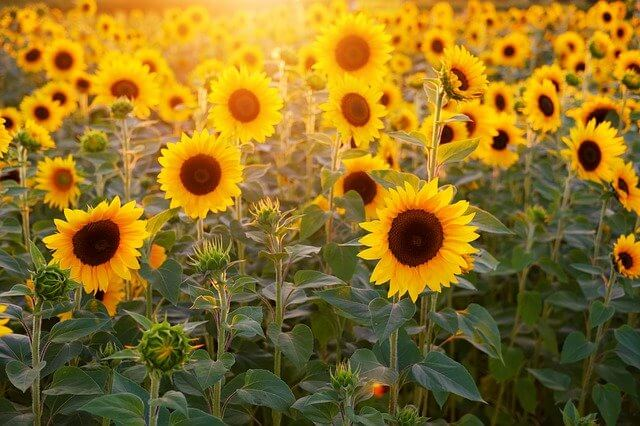 Sunflower Like Coffee Grounds