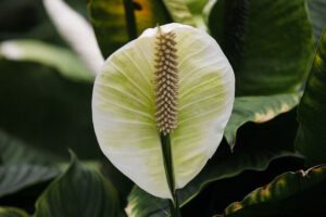 How Long Does It Take For Peace Lily Seeds To Germinate