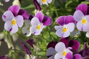 How To Harvest Seeds From Pansies