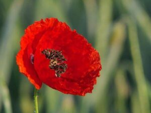 How To Harvest Seeds From Poppies