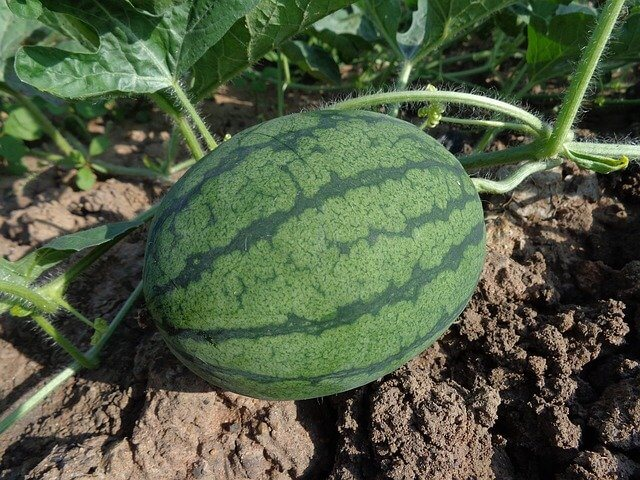 How to Prepare Watermelon Seeds for Planting